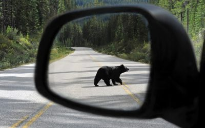 Tips to Prevent Wildlife-Related Car Collisions